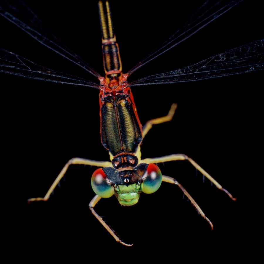 blackline-damselfly-rainbow-eye-dragonfly-pinao-anuenue-megalagrion-nigrohamatum-nigrolineatum