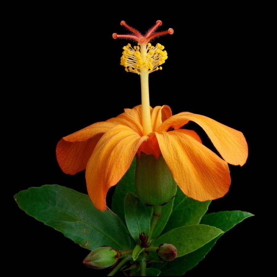 kokio-kokio-ulaula-maku-hibiscus-kokio-subsp-saintjohnianus