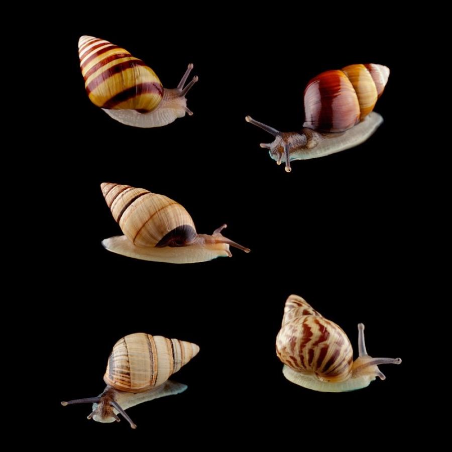 tree-snail-species-kahuli-pupu2